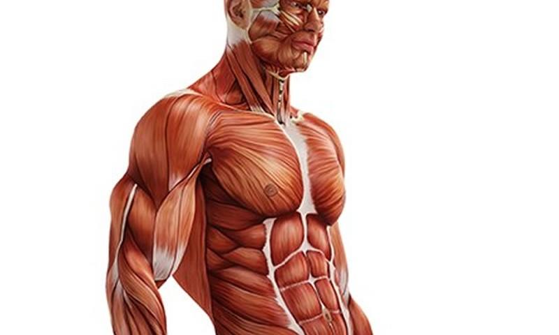 fibras_musculares